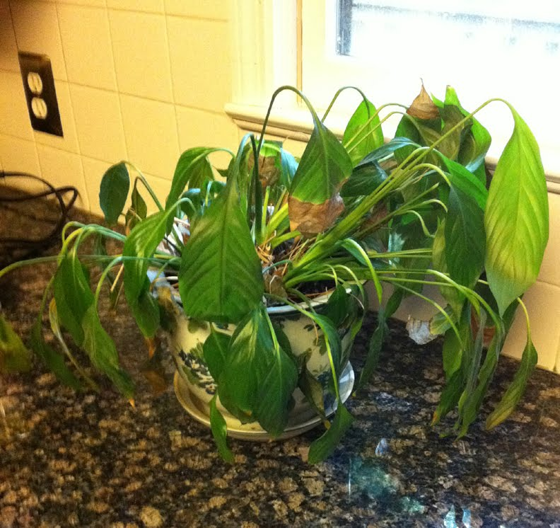 Six Ways To Revive A Dying House Plant Before It S Too Late Good Earth Plants,What Colors Go With Light Green Paint
